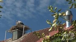 ドイツ・バイエルン州のツバンツガー醸造所の煙突の上に巣を作ったコウノトリのつがい(2020年7月27日撮影)。(c)Pauline CURTET / AFPTV / AFP
