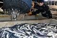 サンマの水揚げが36%減 50年ぶりに過去最低を更新した去年より不漁