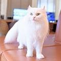 猫カフェ「モカラウンジ池袋東口店」のリーベ