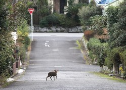 千葉県いすみ市の住宅街を歩くとさっそく道路を横断するキョンに遭遇。オスには短い角と牙が生えている