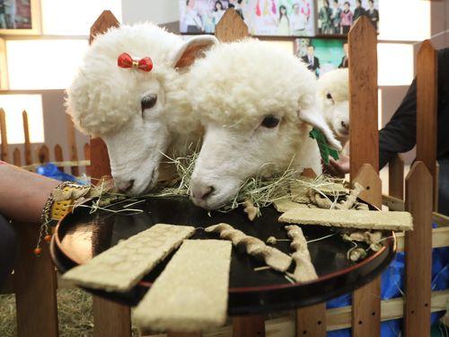 奈良の鹿せんべいがヒント  台湾の観光農場に「ヒツジせんべい」登場