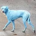 インドのムンバイで「青い犬」を数頭発見 汚染水を飲んだことが原因か