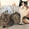 今回地域情報サイトを通じて譲渡したキジ猫と三毛猫(右)(保護ボランティア提供)