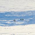 ロシア・ノバヤゼムリャ列島。ロシア北極圏国立公園提供(2019年3月4日提供、撮影日不明、資料写真)。(c)AFP PHOTO / RUSSIAN ARCTIC NATIONAL PARK
