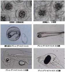 ウナギの受精卵から孵化後4日目までの写真。(画像:鹿児島鰻発表資料より)