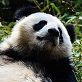 地球上で最もロマンチックな生き物はパンダ 米中の科学者が研究