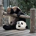 パンダは世界各国で「愛くるしい親善大使」として活躍している。上野動物園での繁殖が成功して生まれたシャンシャンも、当初の協議では「2年で中国に返還される」こととなっていたが、東京都側の要望を受けて2020年12月31日まで延長されることとなった。(イメージ写真提供:123RF)