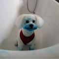 真っ青な顔で満足そうな犬(画像は『LADbible 2020年11月15日付「Dog Dyes Herself Bright Blue After Finding Ink Cartridge In The Bin」(Credit: Kennedy News and Media)』のスクリーンショット)