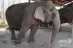 タイ・チェンマイの飼育施設で買われているゾウ(2020年3月27日提供)。(c)AFP PHOTO / ELEPHANT NATURE PARK