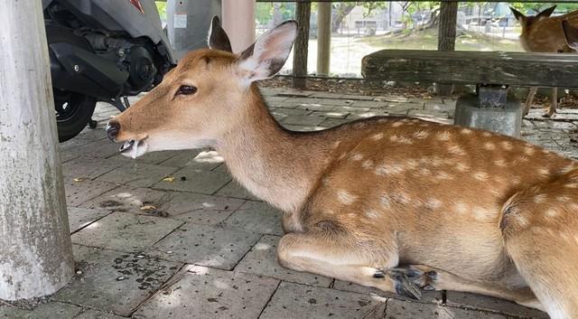 [画像] 観光客戻った奈良で、口から泡を吹くシカを目撃!…身勝手な餌やりが原因か 愛護会は「本当にやめて」