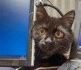 上司のように「進捗どう?」在宅勤務の飼い主を見に来る猫