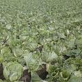茨城県八千代町は白菜の大産地として知られる(時事通信フォト)