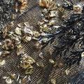三重でアコヤガイ約289万個が死ぬ 割合は2019年以下も「対策呼びかける」
