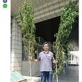 3m超の大麻草 自然歩道で栽培