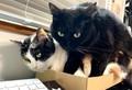 仕事の邪魔されないように箱を置いてみたら…猫が溢れて大変なことに