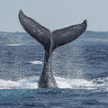 そもそもクジラ肉需要は急減 IWC脱退の背景に首相の地元事情か
