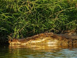 夕日に照らされて黄金色に輝いて見えるイリエワニ。体長は4.5メートルあった=2020年7月23日、豪北部ダーウィン近郊のメアリー川、福田雄介さん撮影