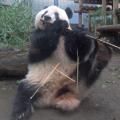 シャンシャンは2歳半に 手・足・口を使った見事な竹さばきを披露