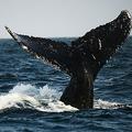 ザトウクジラの尾。太平洋で(2015年10月1日撮影、資料写真)。(c)CRIS BOURONCLE / AFP