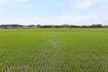 日本の多様な銘柄米は種子法に守られてきた。 masa / PIXTA(ピクスタ)