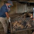 カンボジア中部スクンの食肉処理場で、犬を保護する動物愛護団体「フォー・ポーズ」のメンバー(左)と犬のケージを運ぶ経営者のオック・モル氏(2021年3月4日撮影)。(c)TANG CHHIN Sothy / AFP