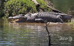 豪クイーンズランド州に生息し、地元住民に「ハワード」という愛称で呼ばれる体長4メートルのワニ。ワニの見学ツアーを催行するデービッド・ホワイトさん提供(撮影日不明、2019年9月10日公開)。(c)AFP=時事/AFPBB News