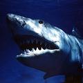ご冥福をお祈りいたします - 映画『JAWS/ジョーズ』より  - Universal Pictures / Photofest / ゲッティ イメージズ