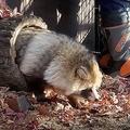 巣箱から出てきたエゾタヌキ=おびひろ動物園のツイッター