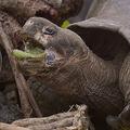 南米エクアドル沖のガラパゴス諸島に生息するゾウガメ(2019年2月27日撮影、本文とは関係ありません)。(c)RODRIGO BUENDIA / AFP