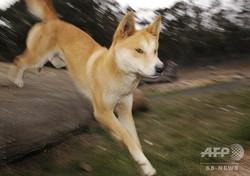 豪ビクトリア州にあるディンゴ研究施設が飼育するディンゴ(2009年5月25日撮影、資料写真)。(c)  WILLIAM WEST / AFP