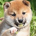 結局一番かわいい犬種ランキング