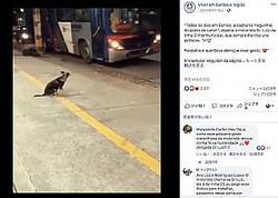 """停留所でお気に入りのバス運転手を待つ犬(画像は『Viver em Santos e região 2019年4月19日付Facebook「""""Todos os dias em Santos, a cachorra 'neguinha', do posto do canal 1, espera o motorista Sr. Luiz da linha 3 intermunicipal, que sempre lhe traz uns petiscos.」』のスクリーンショット)"""