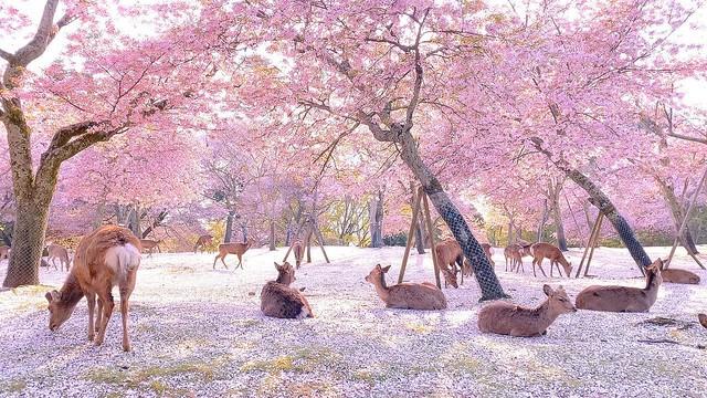 この世の楽園!緊急事態宣言後の奈良公園の映像が「まるで桃源郷のよう」と話題に