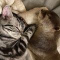 猫にぴったり添い寝 甘えんぼなカワウソが可愛い