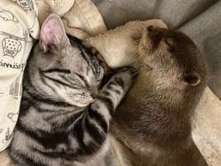 寝相が悪いのに…くっついて眠る猫とカワウソが可愛すぎて胸が苦しい
