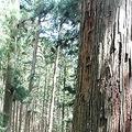 子や孫のために先祖が残してくれた自慢の大木を見上げる谷さん。法案が通れば過剰な伐採を招くと危機感を持つ(奈良県天川村で)