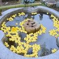 手水鉢にプカプカ浮かぶアヒルたち(京都市東山区・粟田神社)