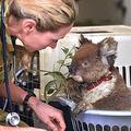 森林火災から救出され、野生動物公園の仮設病院で治療を受けるコアラ=1月14日、オーストラリア南部カンガルー島(AFP時事)