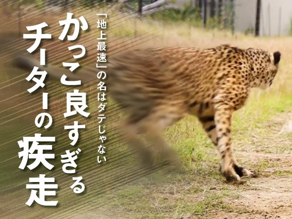 [画像] 「地上最速の動物」の名はダテじゃない かっこよすぎるチーターの疾走