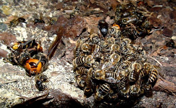 海外 オオスズメバチ