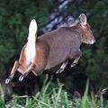 キョンは警戒心が強く、人間が近づくと素早く逃げていく。草食性動物で、群れは形成せず単独で行動する