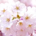 桜への高い関心が…