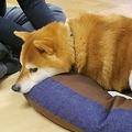 新型コロナウイルス禍で売り上げが伸びているというペット用羽毛布団(八幡市内里・キムラ)