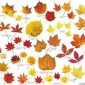 原寸 日光産カエデ類紅葉図譜/画像提供:日光自然工房