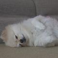 ひっくり返って眠るポメラニアン 野生を失った姿に可愛いと反響