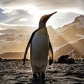 イギリスのEU離脱がペンギンに影響か 助成金なくなり保全難航?