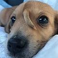 頭に尻尾が生えた子犬(画像は『Mac the pitbull 2019年11月12日付Facebook「It's me Narwhal!! I don't understand what viral is but my foster mama said my story being viral helps ALL our special needs dogs here at the Mission.」』のスクリーンショット)