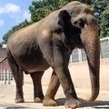 「日本最高齢のゾウ」多摩動物公園のアヌーラ 現在の暮らしぶり