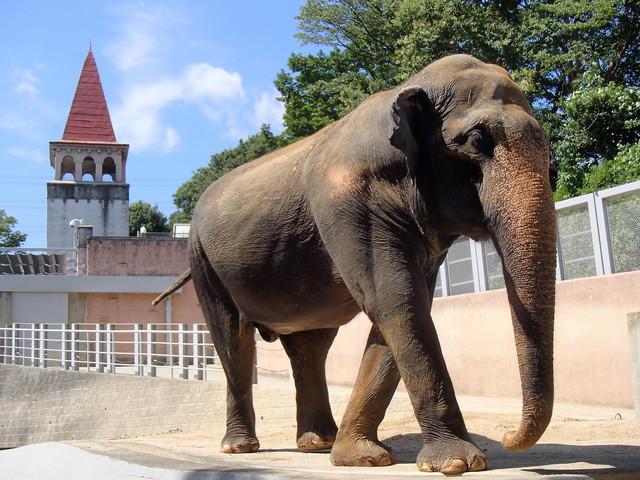 日本最高齢ゾウ・多摩のアヌーラ「隠居暮らし」の様子をレポート
