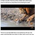 小さなカメが自分の縄張りを主張?(画像は『The Citizen 2021年4月21日付「WATCH: Territorial turtle chases lion from his waterhole」』のスクリーンショット)